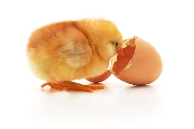Frango e uma casca de ovo