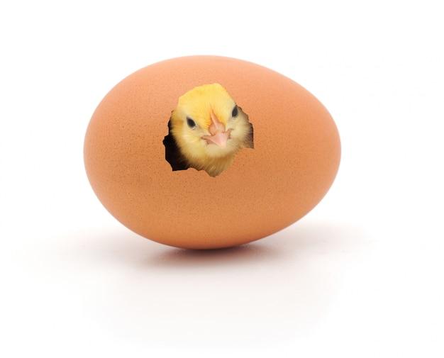 Frango espiando através da casca do ovo