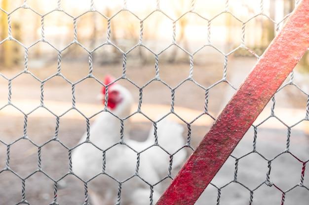 Frango jovem branco. olha através da rede de arame. frango atrás de uma rede de cerca de metal cinza em uma fazenda. criação orgânica de pássaros. produto de frango amigo do ambiente.