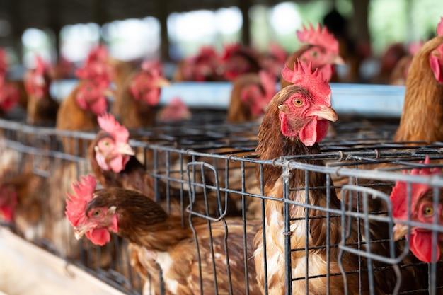 Frango na fábrica, galinhas em fazenda industrial de gaiolas na tailândia, animal e agronegócio, produção de alimentos e conceito da indústria