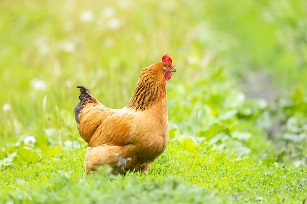 Frango na grama em uma fazenda. galinha de frango laranja que sai para passear na grama Foto Premium