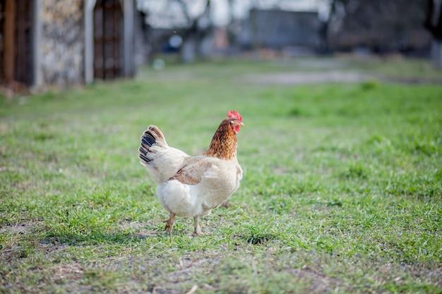 Frango na grama em uma fazenda