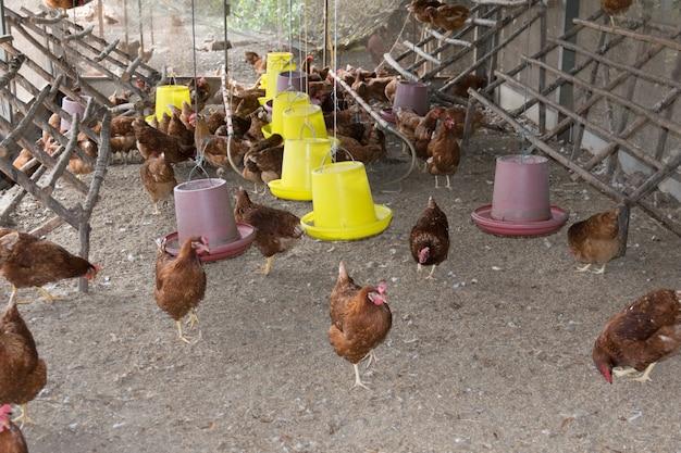 Frango no galinheiro.