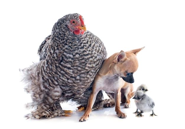 Frango orpington e chihuahua