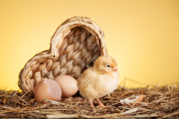 Frango pequeno fofo no ninho