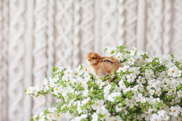 Frango recém-nascido fofo jovem contra flores brancas. símbolo da primavera, feriado, páscoa, parabéns.