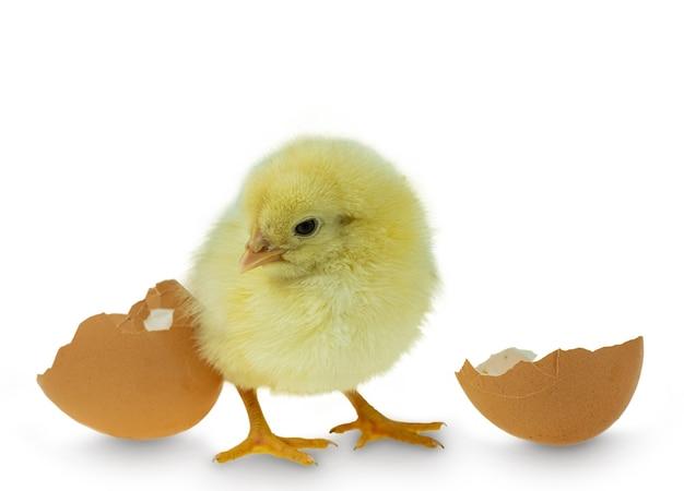Frango saindo de ovo e casca de ovo