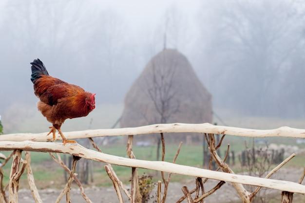 Frango vermelho em pé na cerca de madeira com gaiola