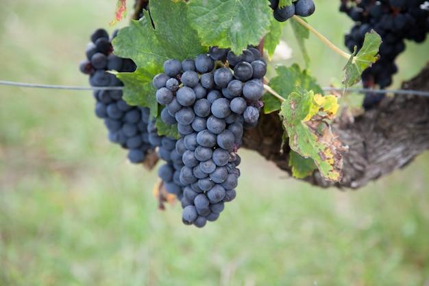 Fresco de uva vermelha no galho de árvore
