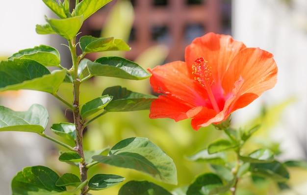 Fresco, florescendo, cor laranja hibisco, (rosa, mallow) flor, ornamental, florescendo, houseplant
