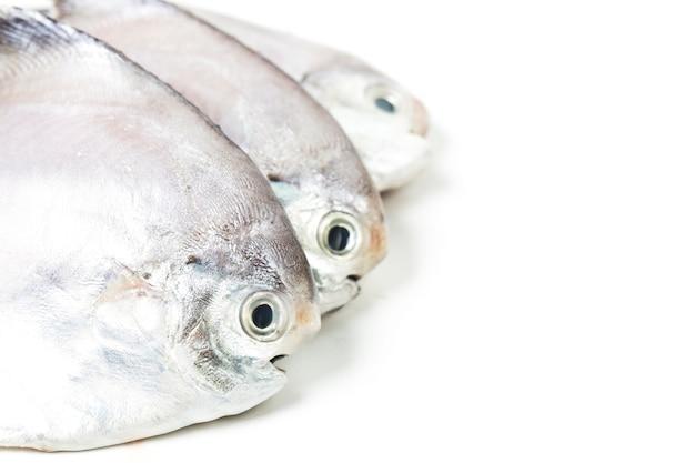 Freshfish fresco em branco