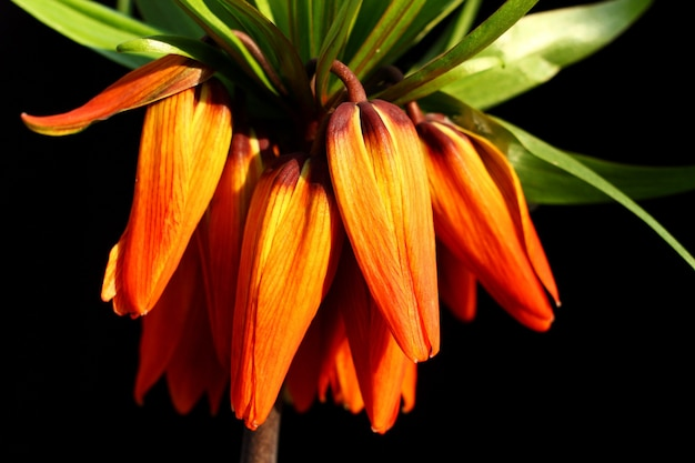 Fritillaria imperialis close de uma parede preta