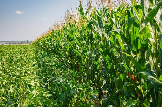 Fronteira de campos de soja e milho no verão.