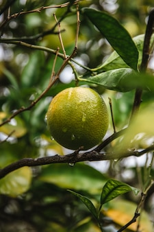 Fruta amarela redonda em galho de árvore marrom durante o dia