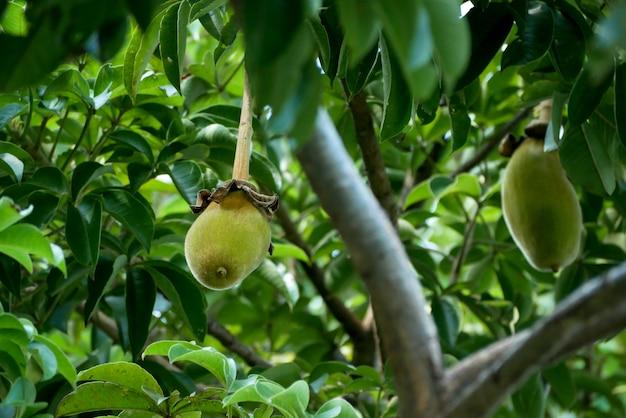 Fruta baobá africana ou pão de macaco