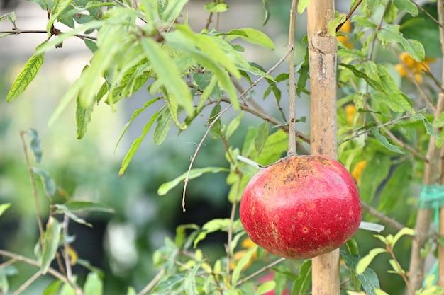 Fruta da romã em tropical