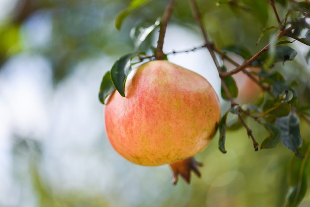 Fruta da romã na árvore com jardim de verão verde natureza turva