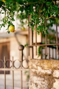 Fruta da romã pendurada em um galho verde perto da cerca