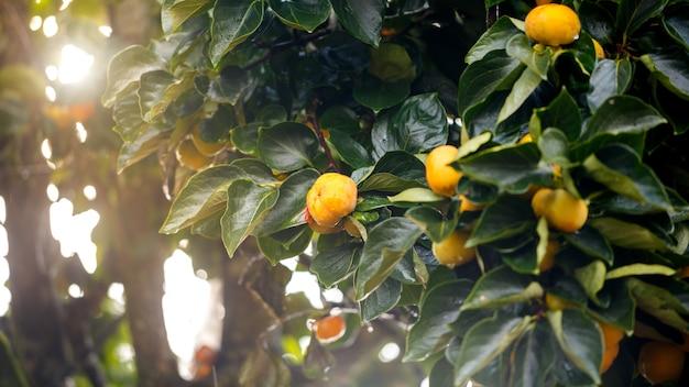 Fruta de caquis maduros pendurado na árvore ramo de caqui