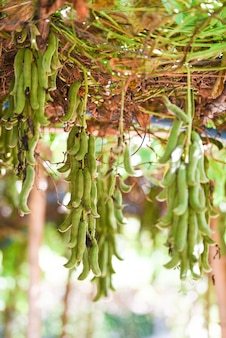 Fruta de cowhage ou capitatus de mucuna pruriens que pendura na árvore. legminosae papilionoideae