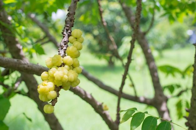 Fruta de groselha estrela. phyllanthus acidus,