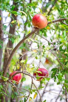 Fruta de romã madura em galho de árvore