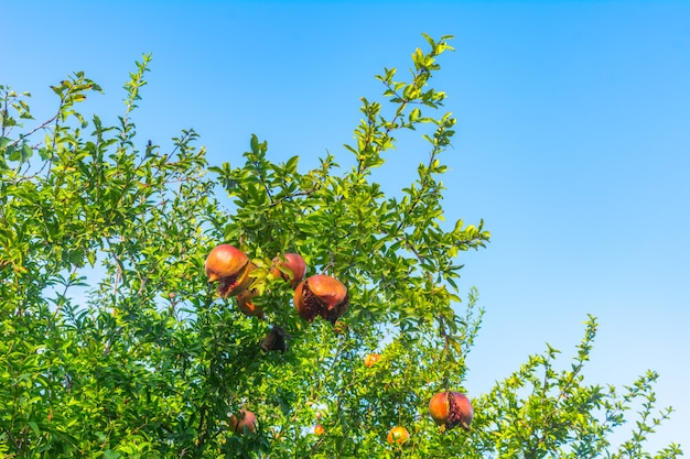 Fruta de romã no jardim