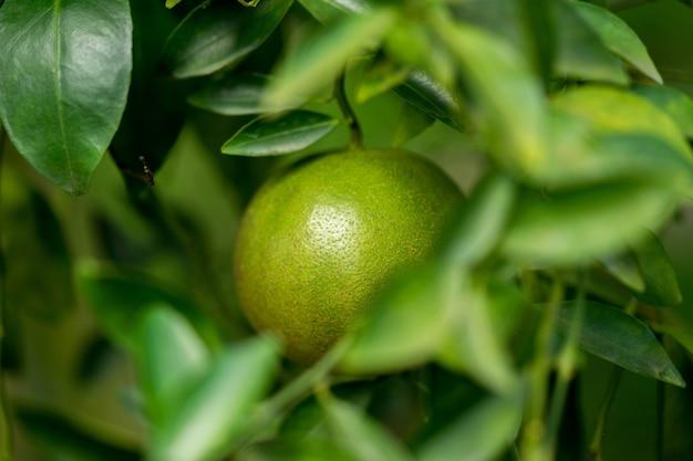 Fruta de tangerina é azeda no sul da tailândia, então a pele é verde.