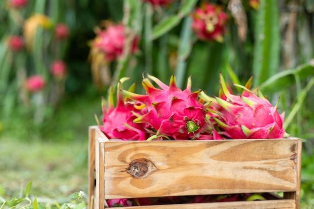 Fruta do dragão em uma caixa de madeira na planta, a pitaya ou pitaiaiás é o fruto de várias espécies de cactos indígenas.