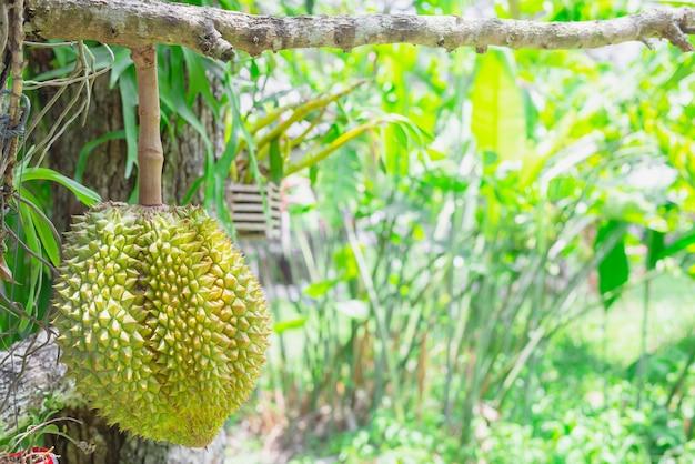 Fruta durian na árvore, frutas tropicais, travesseiro de ouro, monthong