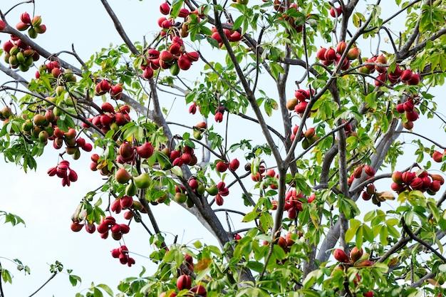 Fruta fresca de ervas de plantas samrong para curar o corpo.