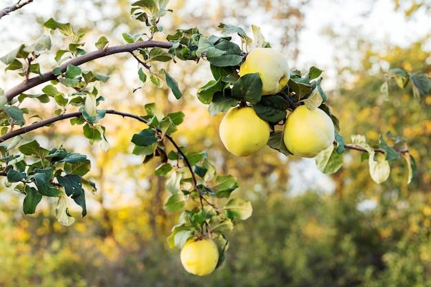 Fruta fresca e suculenta de marmelo pendurada em um galho de árvore no pomar