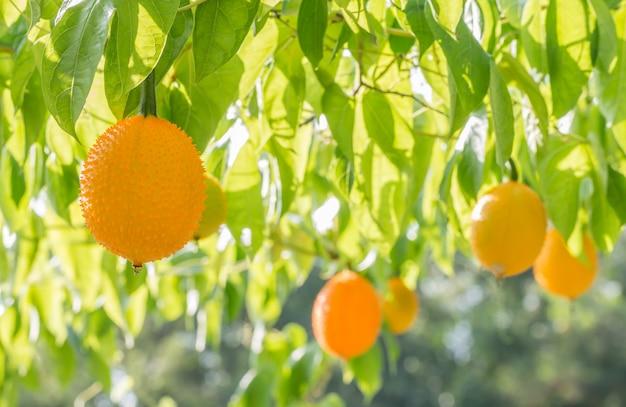 Fruta gac, baby jackfruit.