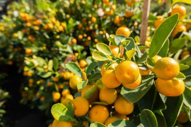 Fruta kumquat, kumquats da fortunella margarita, folhagem de cumquats e frutas ovais na árvore anã kumquat, closeup
