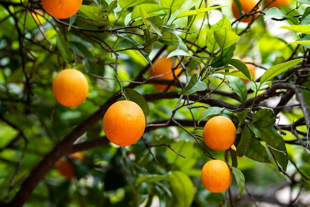 Fruta laranja nas árvores