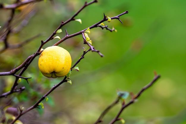 Fruta madura de marmelo amarelo em uma árvore em um jardim orgânico