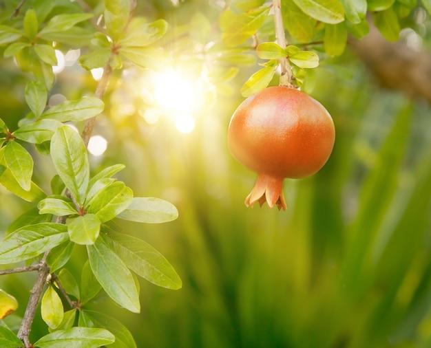 Fruta madura de romã.