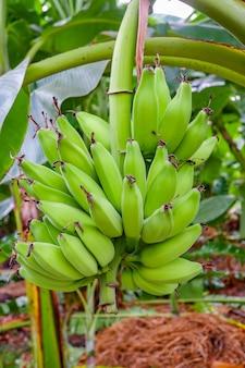 Frutas de banana verde