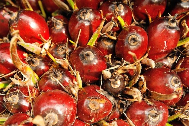 Frutas de óleo de palma