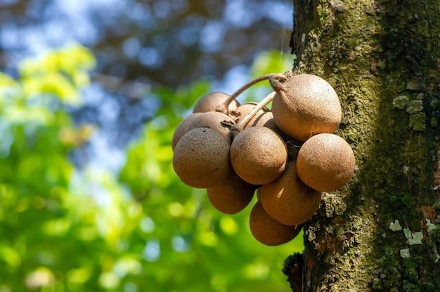 Frutas kepel ou burahol (stelechocarpus burahol), no tronco da árvore, foco selecionado