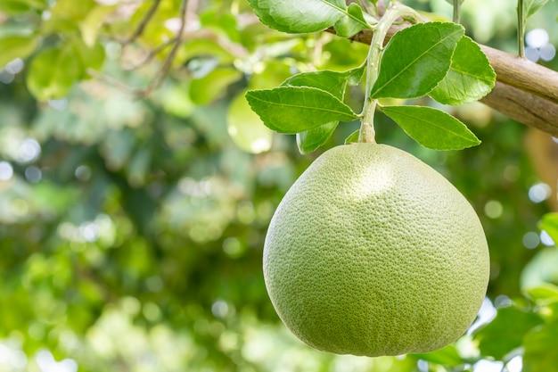 Frutas tropicais, pomelo (citrus maxima), penduradas em um galho de uma árvore, entre a luz do sol forte, em folhas verdes