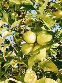 Frutas verdes na árvore durante o dia