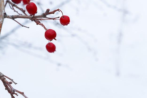 Frutas vermelhas nos galhos de um arbusto