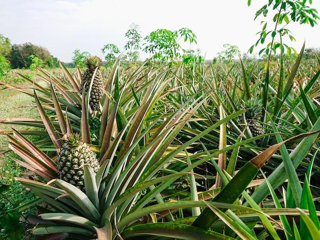 Fruticultura tropical do abacaxi na exploração agrícola.