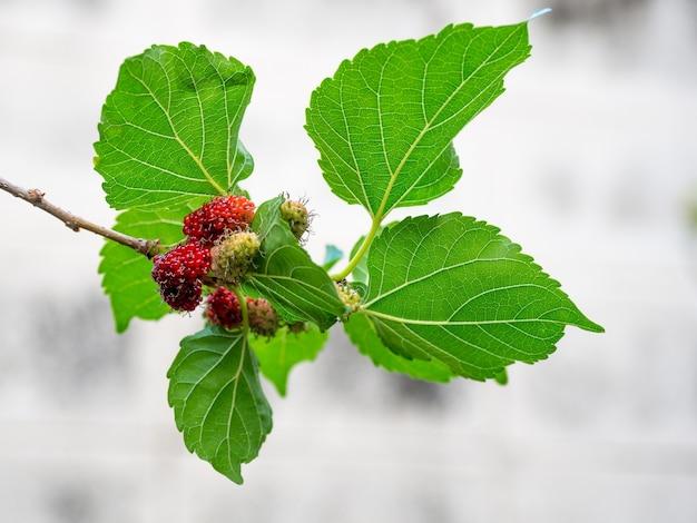 Fruto da amoreira e folhas do verde na árvore.
