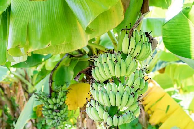 Fruto da banana na árvore e um brilhante verde bonito.