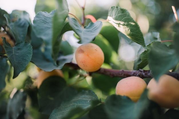 Fruto de damasco em galho de árvore