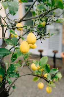 Fruto do limão amarelo nos galhos da árvore entre a folhagem coberta por gotas de chuva