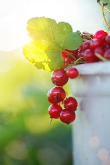 Fruto maduro da passa de corinto vermelha no ramo da planta no fundo da natureza.