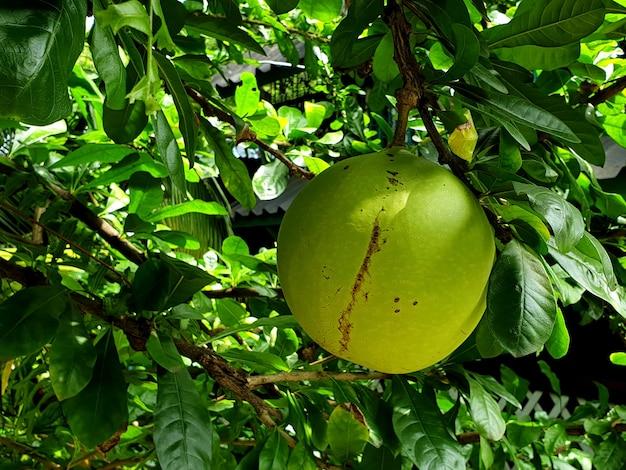 Fruto verde da árvore de cabaça no jardim